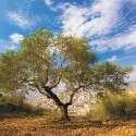 פסטיבל ימי ענף הזית // צילום: סאלח דאקסה