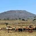 סכנת הידבקות. עדר פרות ברמת הגולן // צילום: רפאל בן ארי