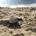 מקן ממוצע יוצאים כ־80 אבקועים. אבקוע קטן  עושה את דרכו לים // צילום: אורי קייזר, רשות הטבע והגנים