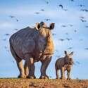 הקרנפית החמדמדה ואמה, קרן פלס // צילום: אלעד הרשקוביץ
