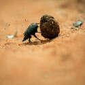 הולכות ונעלמות - חיפושיות זבל // צילום: Getty Images
