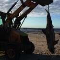 גופת הדולפין שנמצאה הבוקר בחופי אשקלון ונלקחה לנתיחה // צילום: שומרי ים