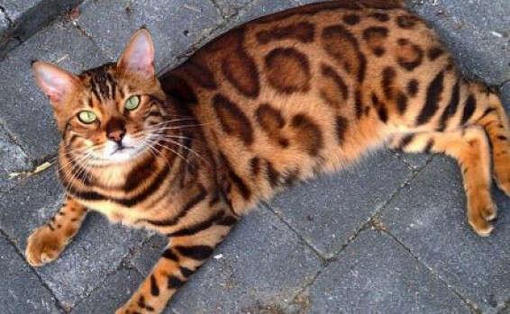 מדהים ת'ור - החתול המושלם שמשגע את הרשת | ישראל היום LW-93