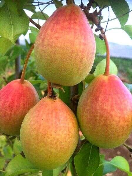Poire Eden // Photo: Ben Dor Fruit