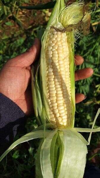 Maïs blanc // Photo: Jakubowski Farm