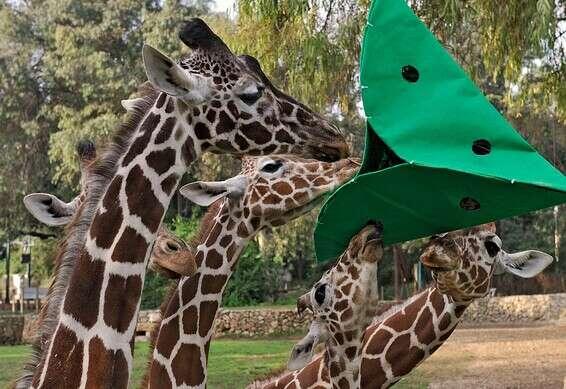 Denisa joue avec ses amis girafes // Gracieuseté de Ramat Gan Safari