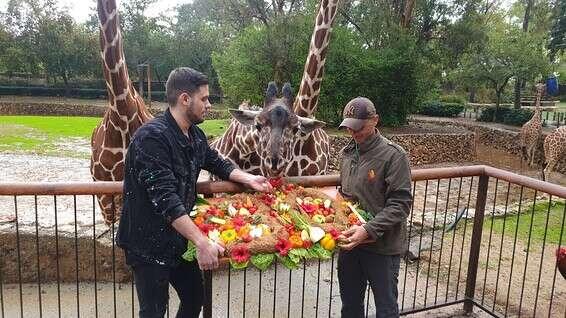 La girafe Denisa avec le gâteau d'anniversaire spécial préparé pour elle // Gracieuseté de Safari Ramat Gan